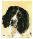 Dog Portraits - BUddy - Springer Spaniel